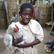 Chicken breeding programme