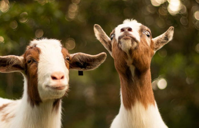 A breeding pair of goats